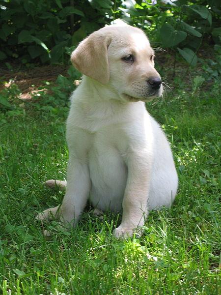 Labradoro retriveris